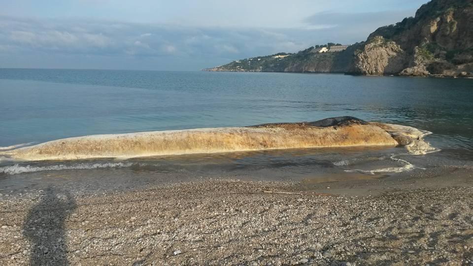 Il capodoglio spiaggiato a San Cataldo nel 2015